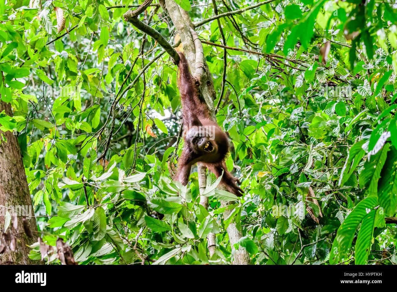 Orangutan in an acrobatic pose in the rainforest - Stock Image