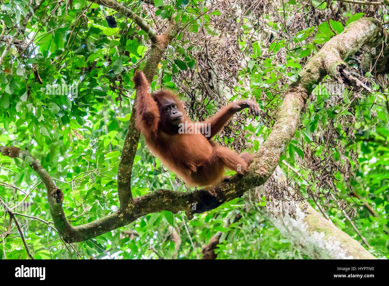 Orangutan chilling out in the rainforest - Stock Image