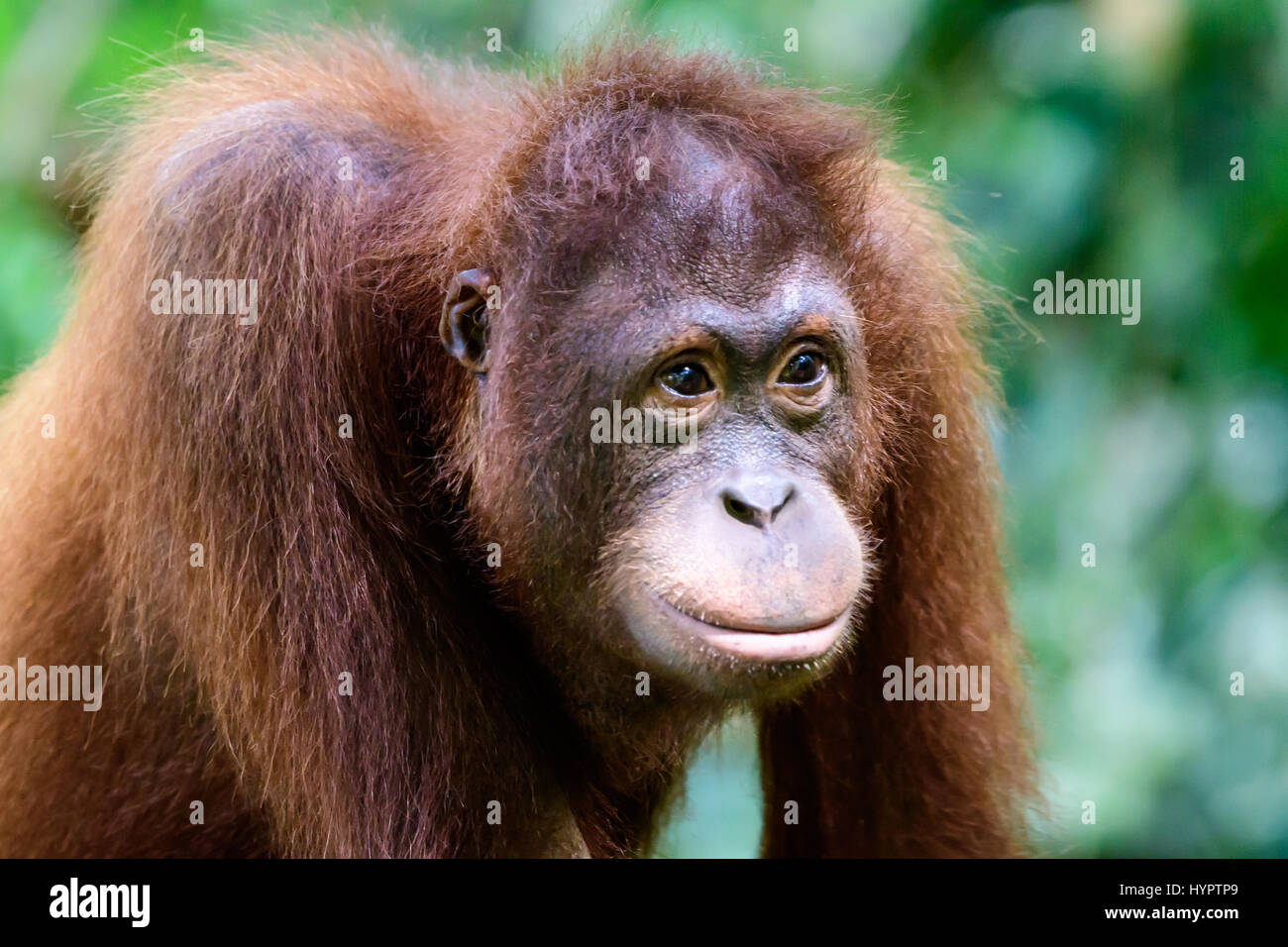 Intelligent face of an Orangutan - Stock Image