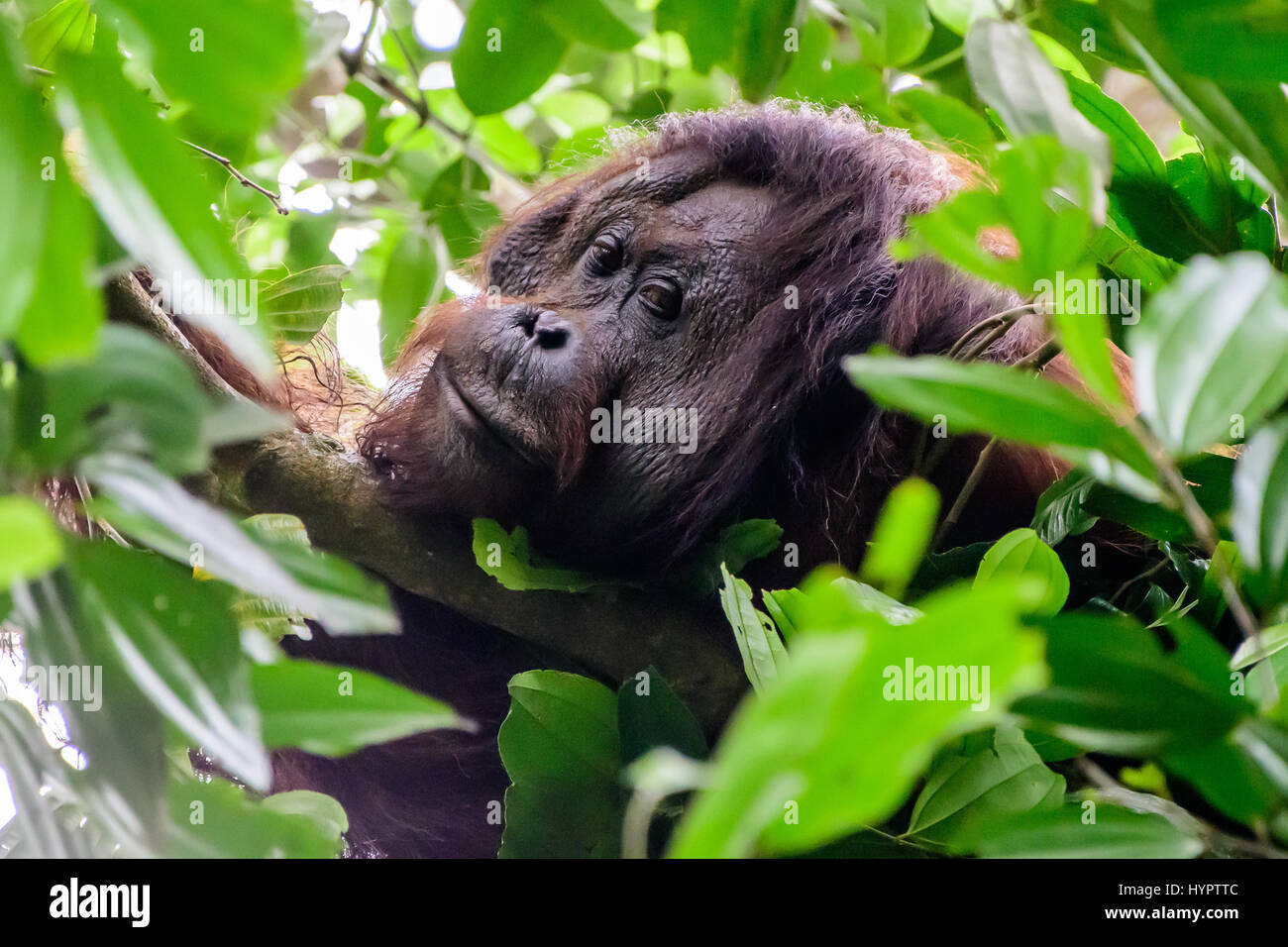 Head shot of a male flange Orangutan - Stock Image