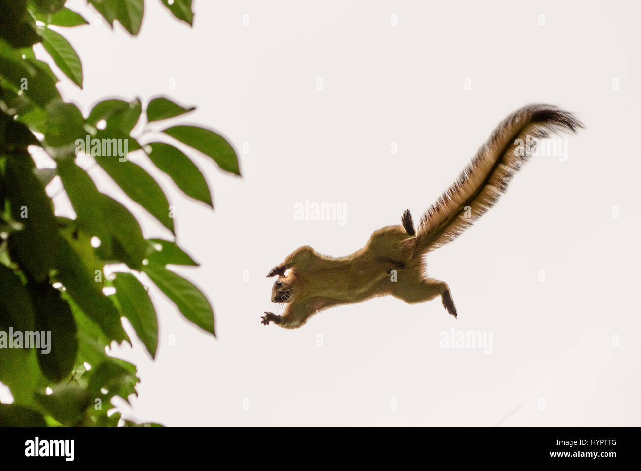 Squirrel in mid air leaping from one tree to another - Stock Image