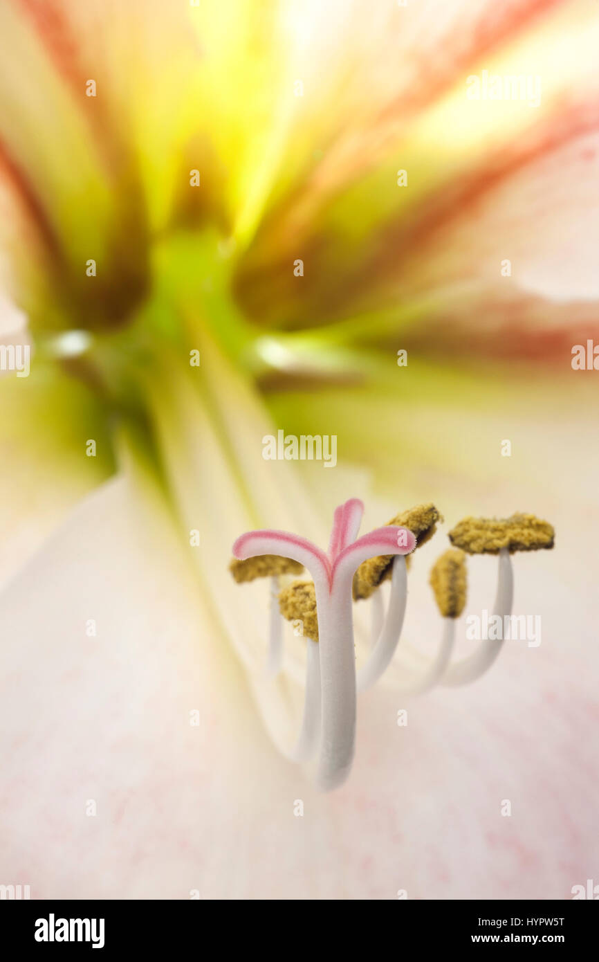 Amaryllis flower - See my flower abstracts Stock Photo