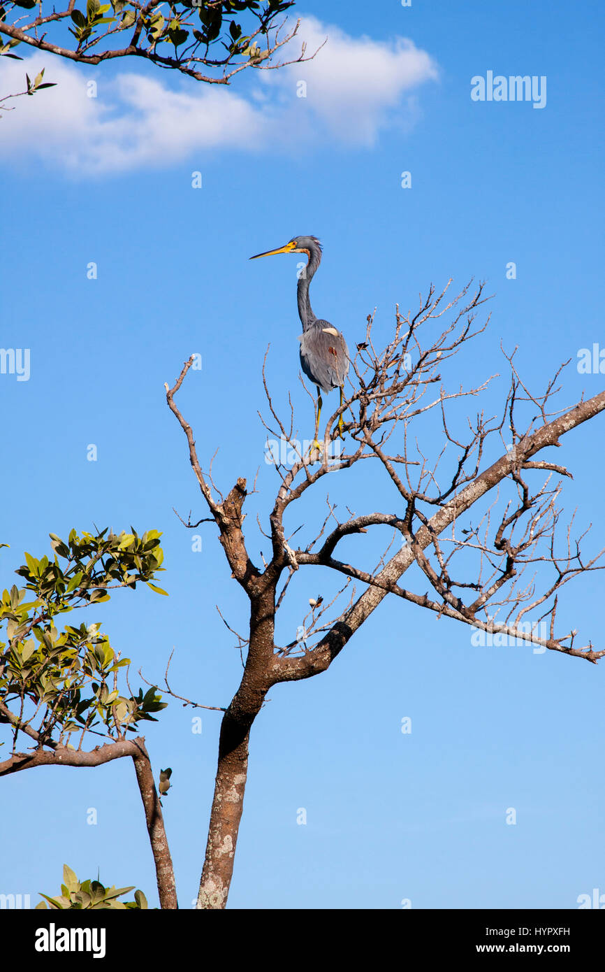 Blue Heron Perched in Tree.  Longboat Key, Florida. - Stock Image