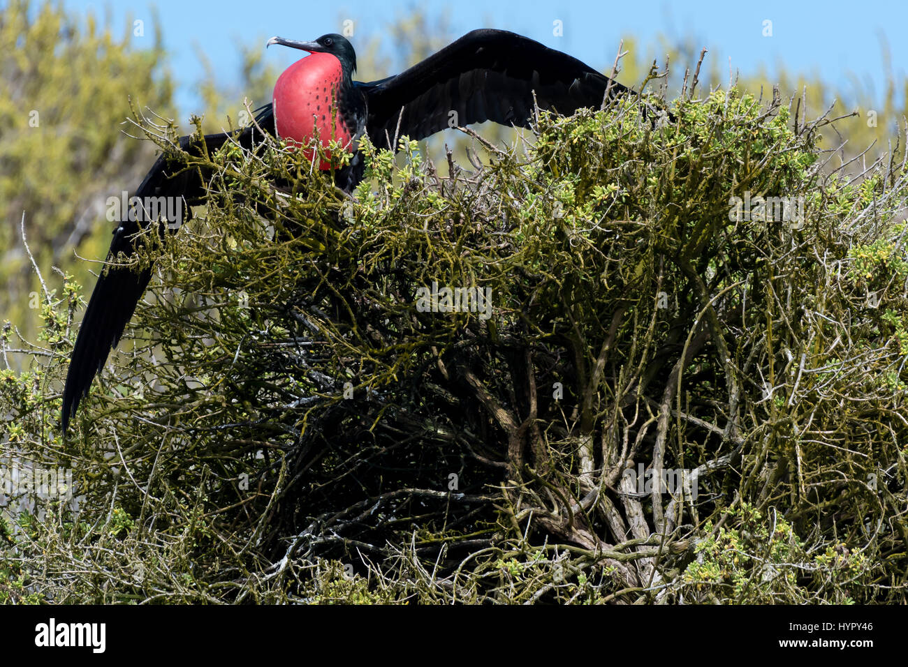 Male Great Frigatebird perched with wings extended on San Cristobal Island,  Galapagos Islands, Ecuador. - Stock Image