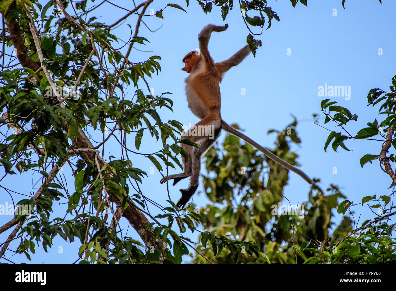 Proboscis monkey leaping from tree to tree - Stock Image
