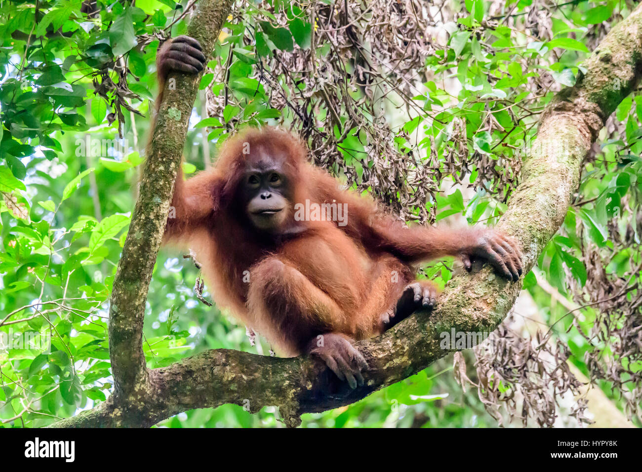 Chilled out Orangutan juvenile perched in a tree - Stock Image