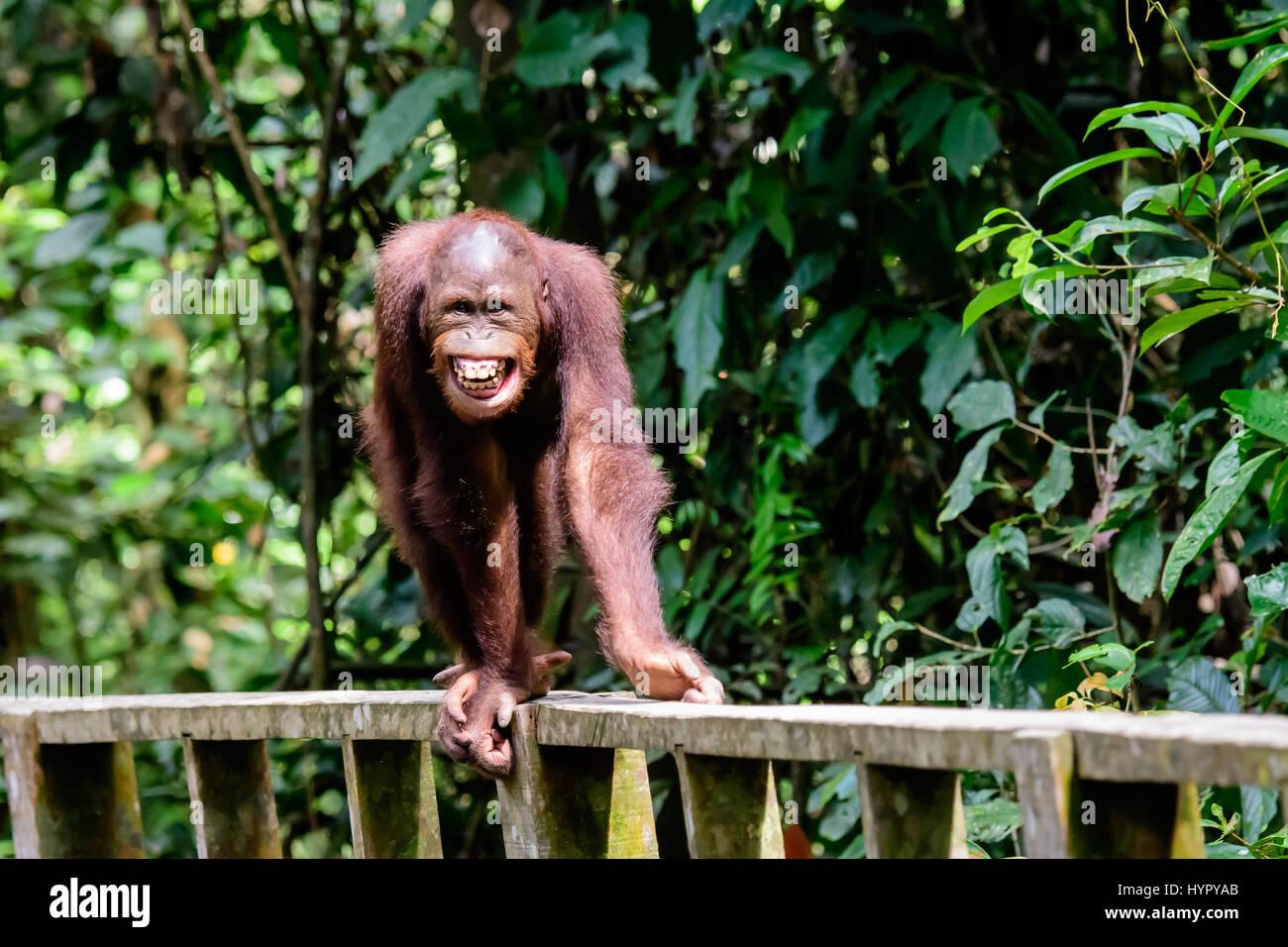 Cheeky grinning Orangutan approaching - Stock Image