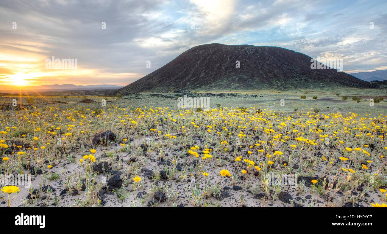 Wild flowers carpet the desert at the Amboy Crater in the Mojave Trails National Monument March 15, 2017 near Amboy, Stock Photo