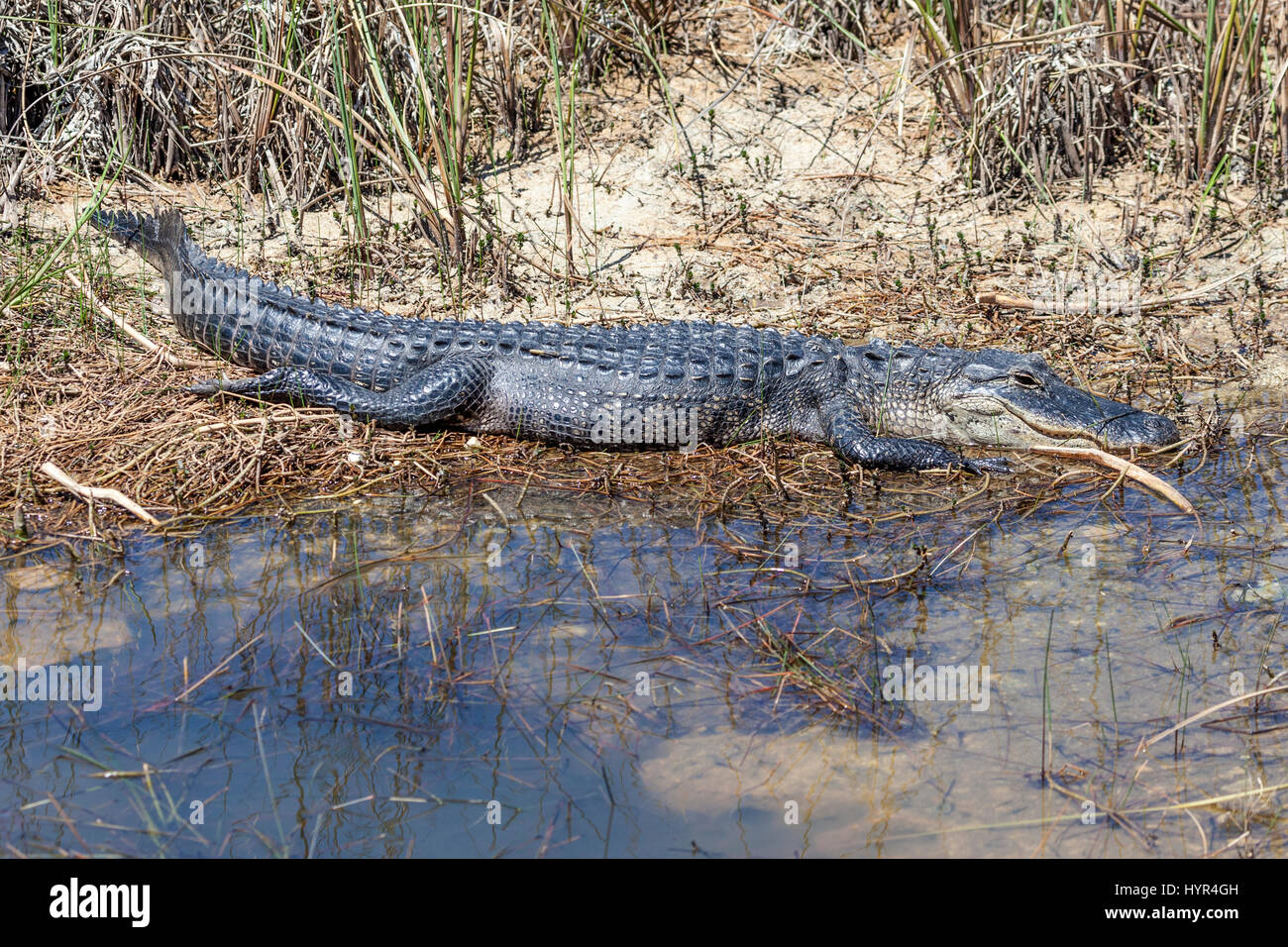 Big american alligator in the Everglades National Park. Florida, United States - Stock Image