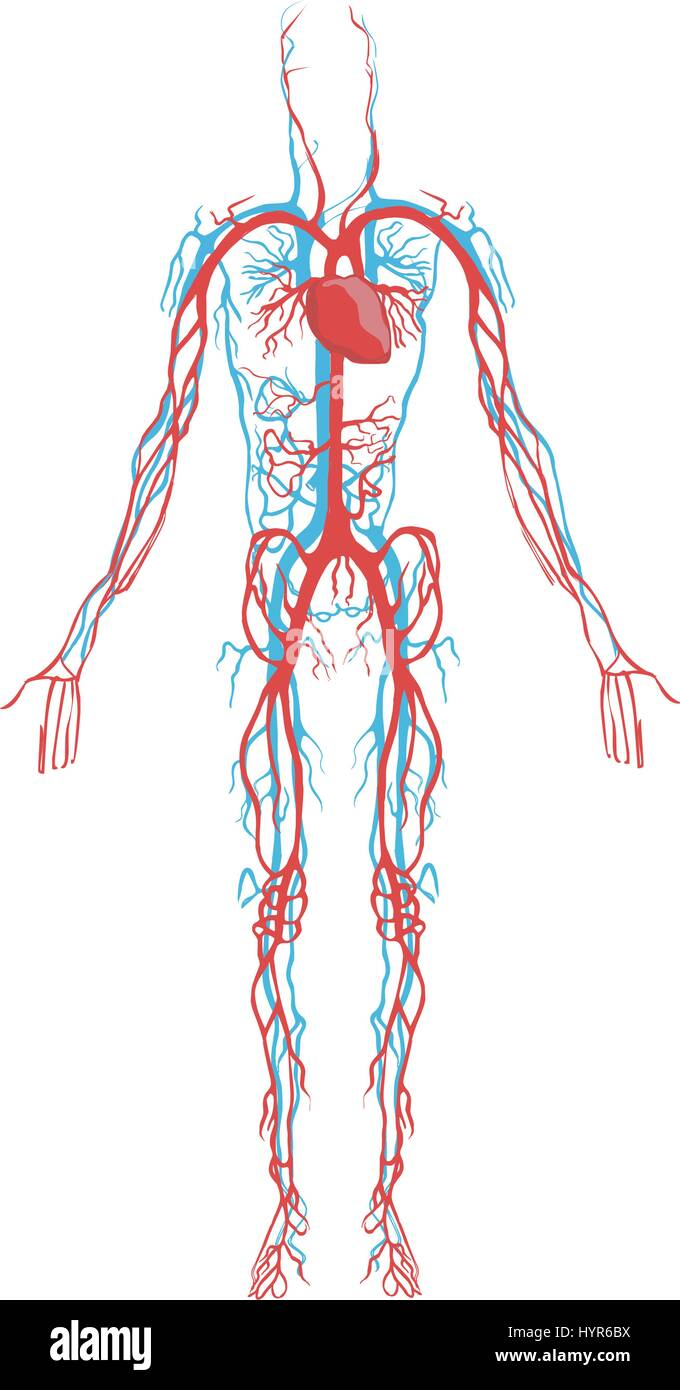 Circulatory System Cut Out Stock Images Pictures Alamy