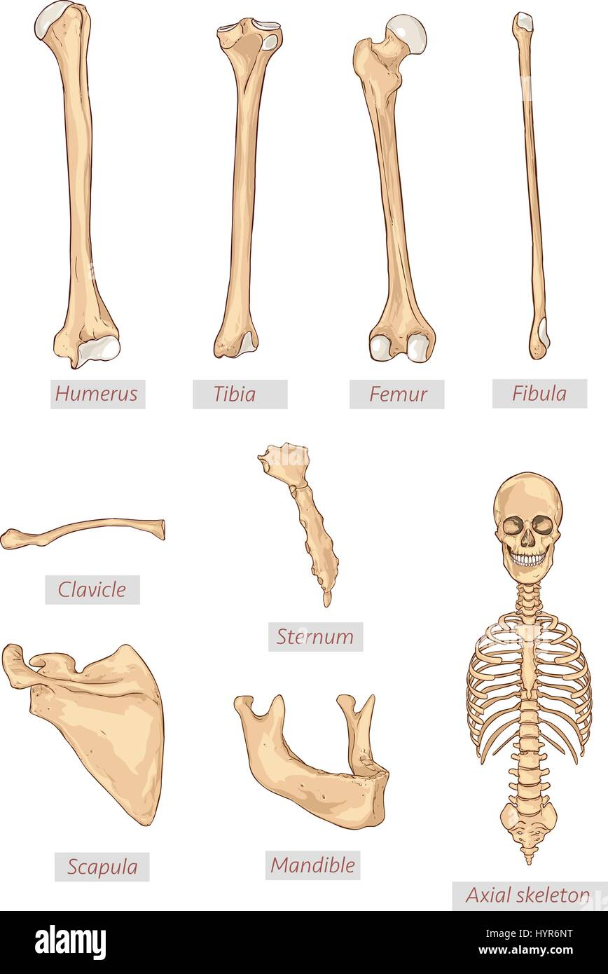 Scapula Stock Photos & Scapula Stock Images - Alamy