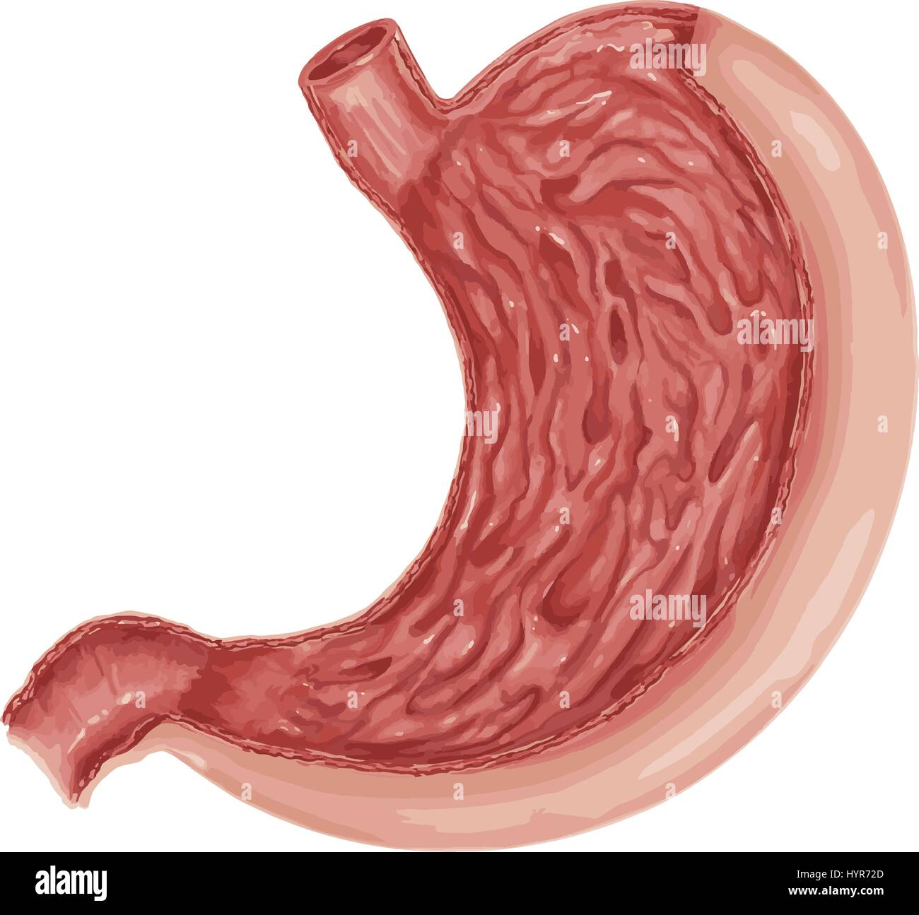 Illustration Of Diagram Of Human Stomach Anatomy Stock Vector Art