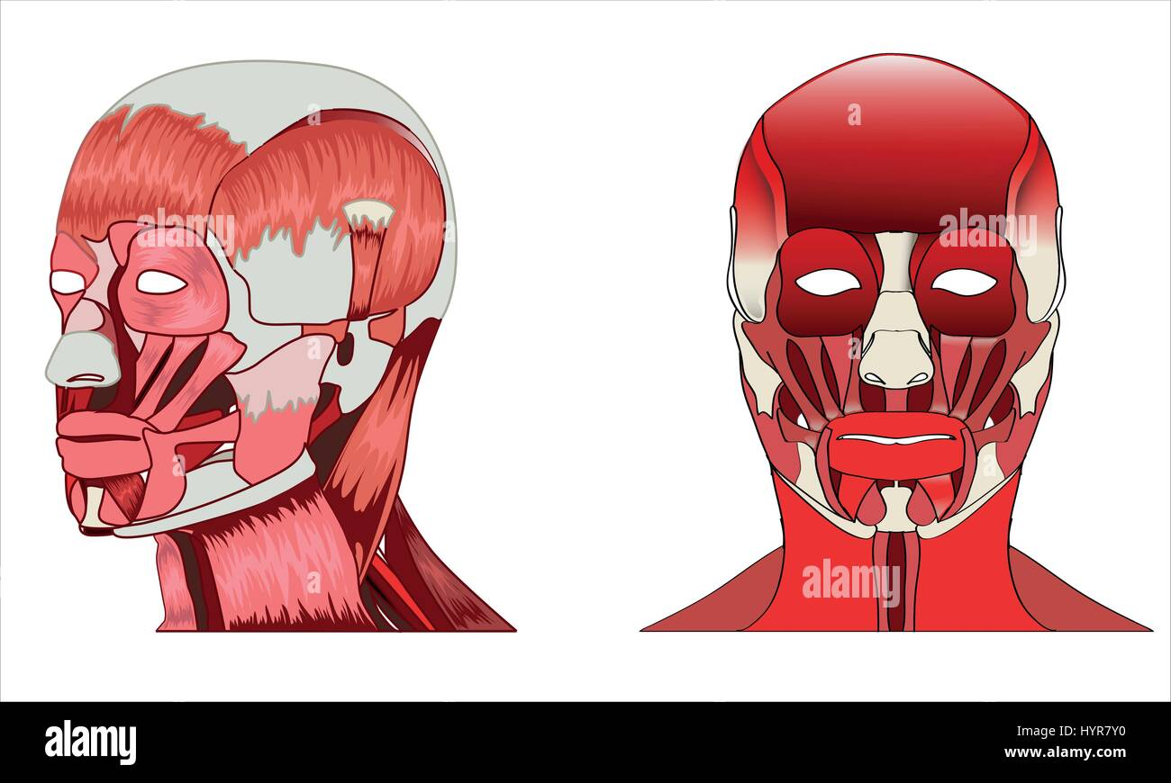 Anatomy Side And Front View Of Major Face Muscles Of A Man Stock