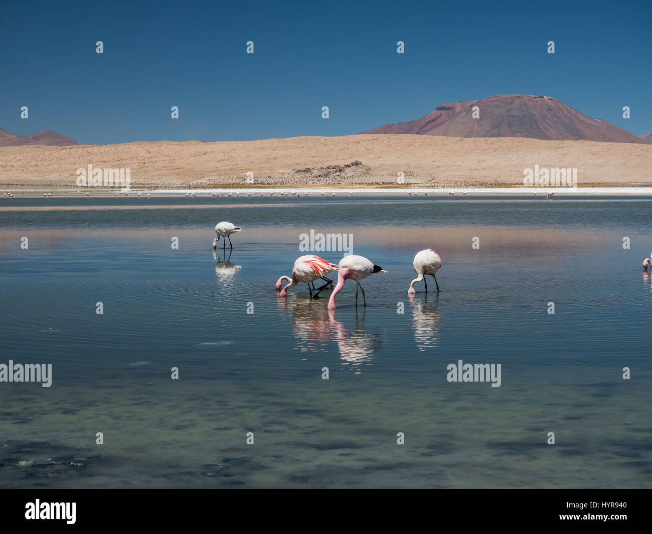 A group of pink flamingos in Laguna Cañapa, these birds are a very common sight in the endorheic salt lake in the Stock Photo