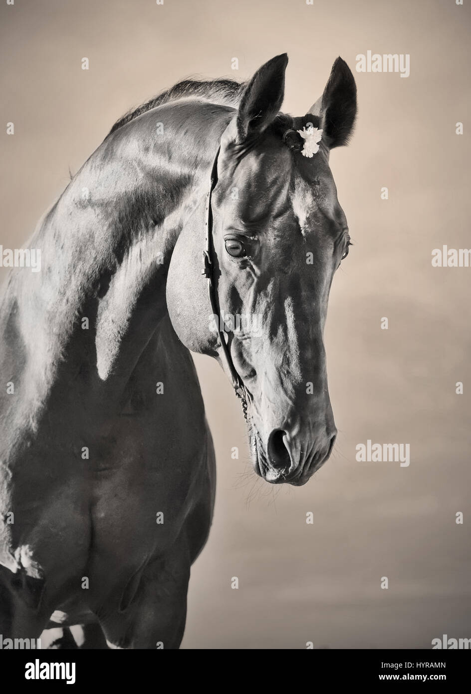 beautiful portrait of wonderful   sportive  stallion. sunny enening - Stock Image