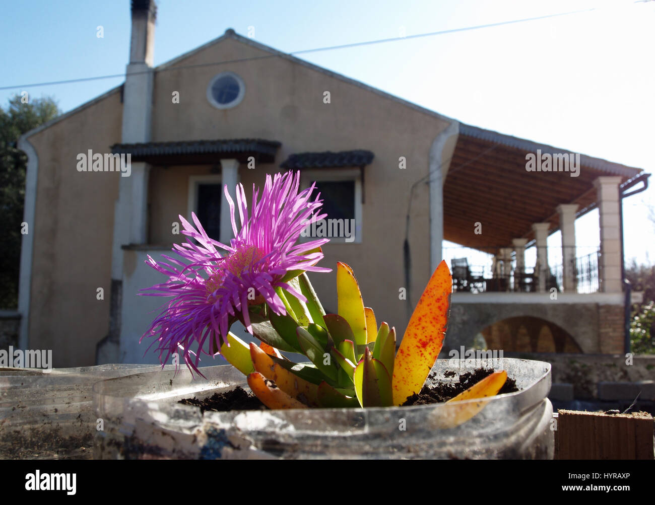 Carpobrotus plant growing in container in Greek garden Stock ... on asparagus fern care, indigo plant care, jelly bean plant care, shasta daisy care, tequila plant care, parrot plant care, daylily care, mandevilla plant care, sour diesel plant care, rubber plant care, kiwi plant care, poker plant care, pipe plant care, mint plant care, pearl plant care, monkey plant care, balloon plant care, frost plant care, stick plant care, sensitive plant care,