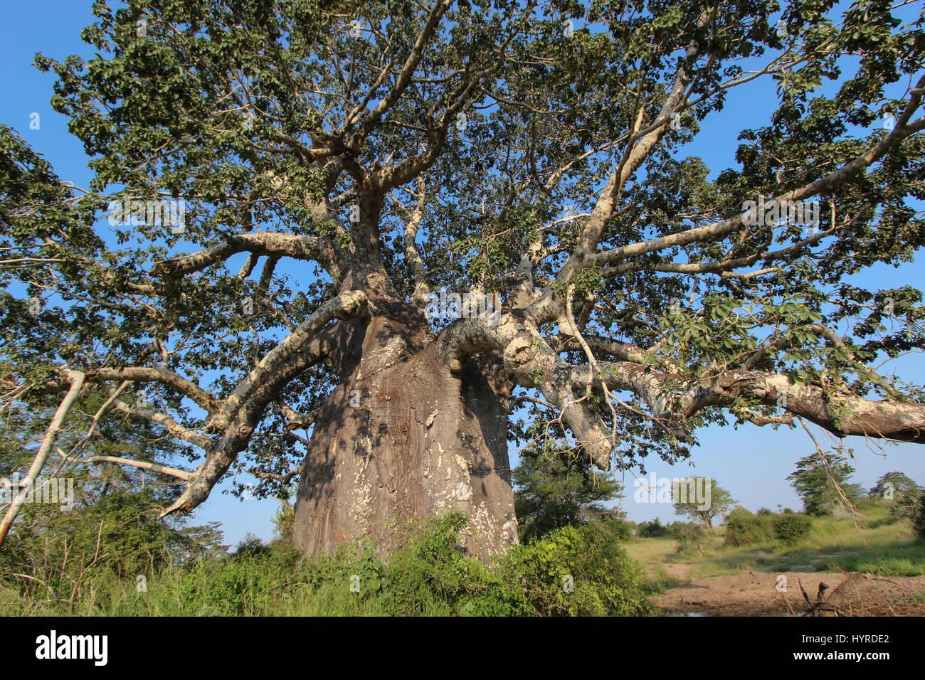 Beautiful and huge Baobab at Kissama National Park – Angola - Stock Image