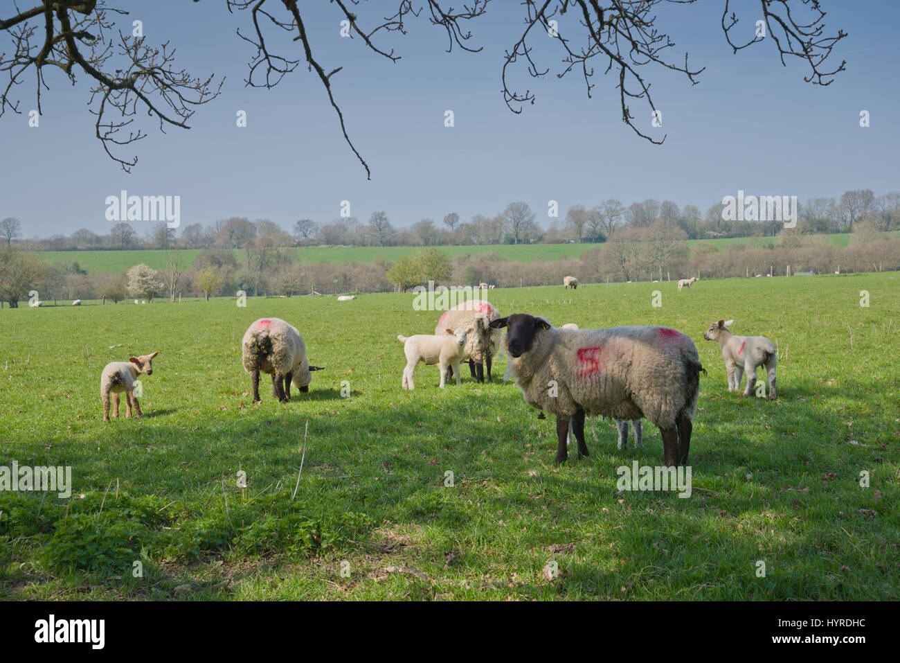Sheep in a British field in March. - Stock Image