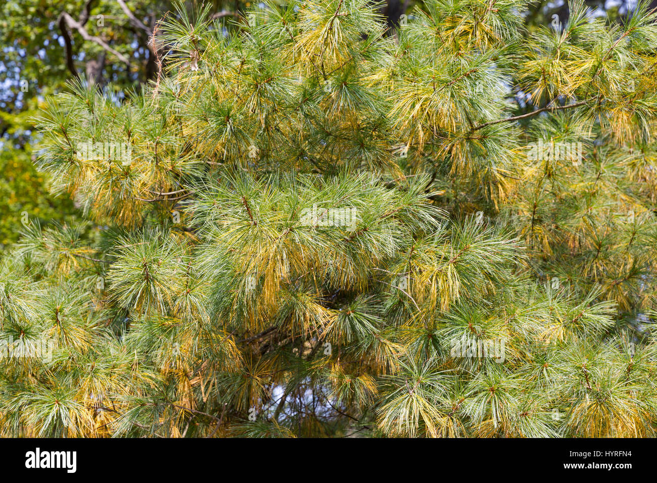 Green and yellow spruce needles background closeup - Stock Image