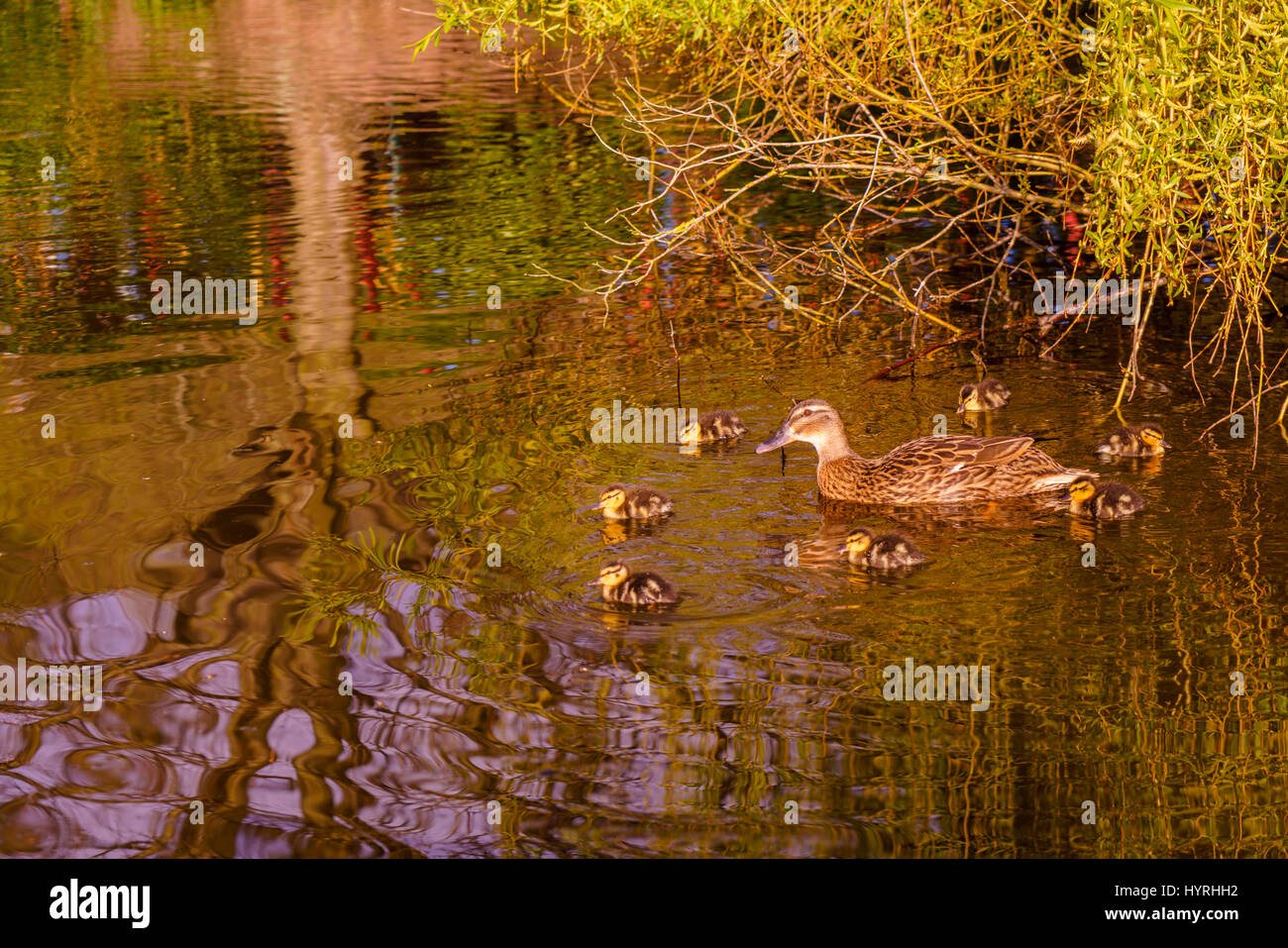 A mother duck and her family of newly born ducklings floating on the pond - Stock Image