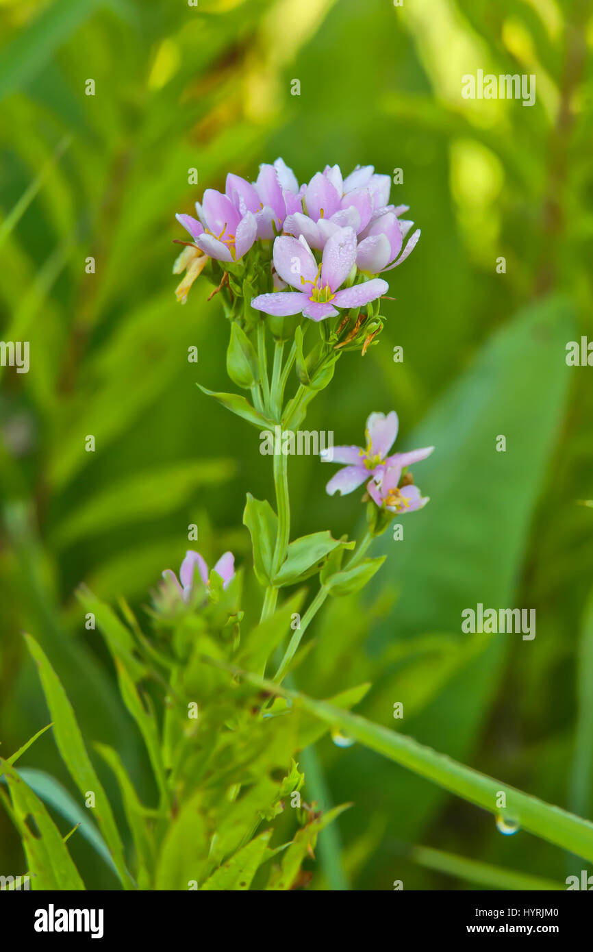 Rose Pink (Sabatia quadrangula) - Stock Image
