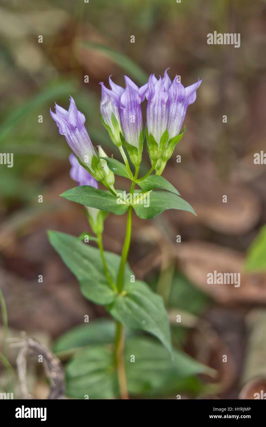 Stiff Gentian (Gentianella quinquefolia) - Stock Image