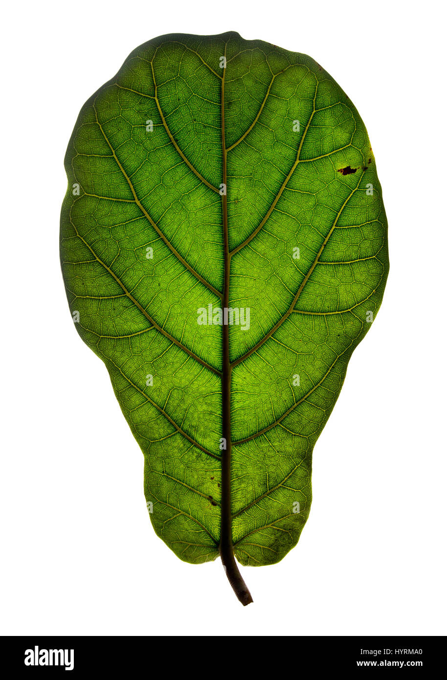 Green leaf lit from behind. Stock Photo