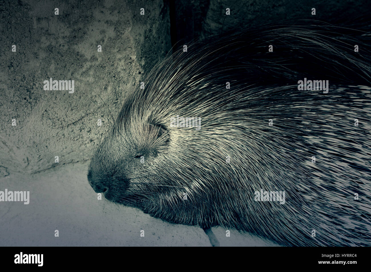 Porcupine wild in a zoo, an animal detail exotic mammal - Stock Image
