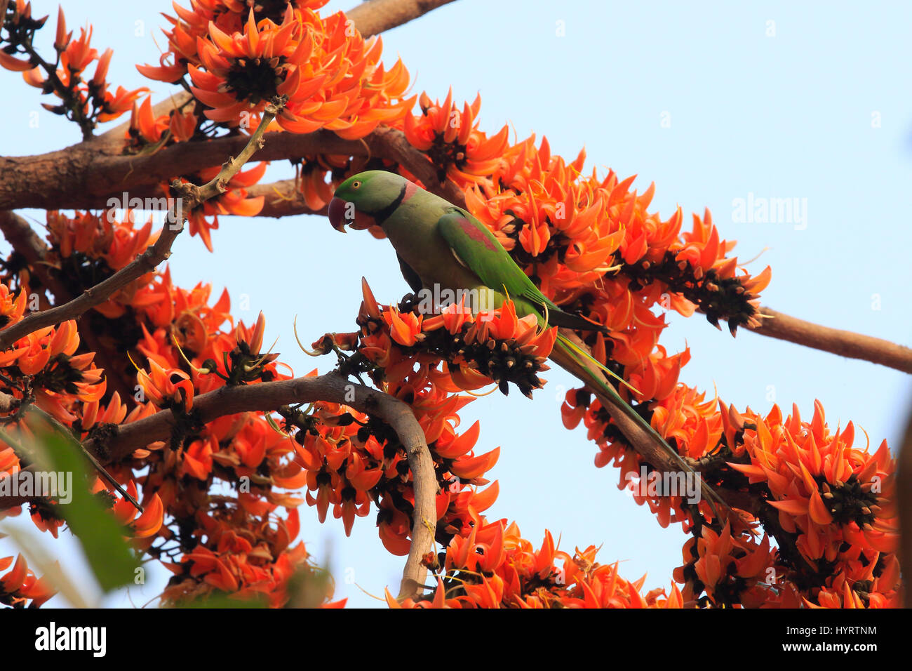 An Alexandrine Parakeet Perching On The Branch Of Spring Flower