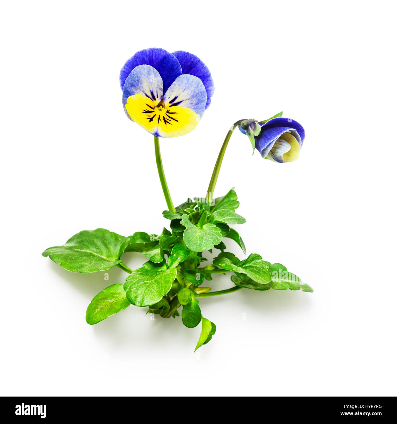 Pansy flowers with leaves isolated on white background clipping path pansy flowers with leaves isolated on white background clipping path included spring garden viola tricolor mightylinksfo