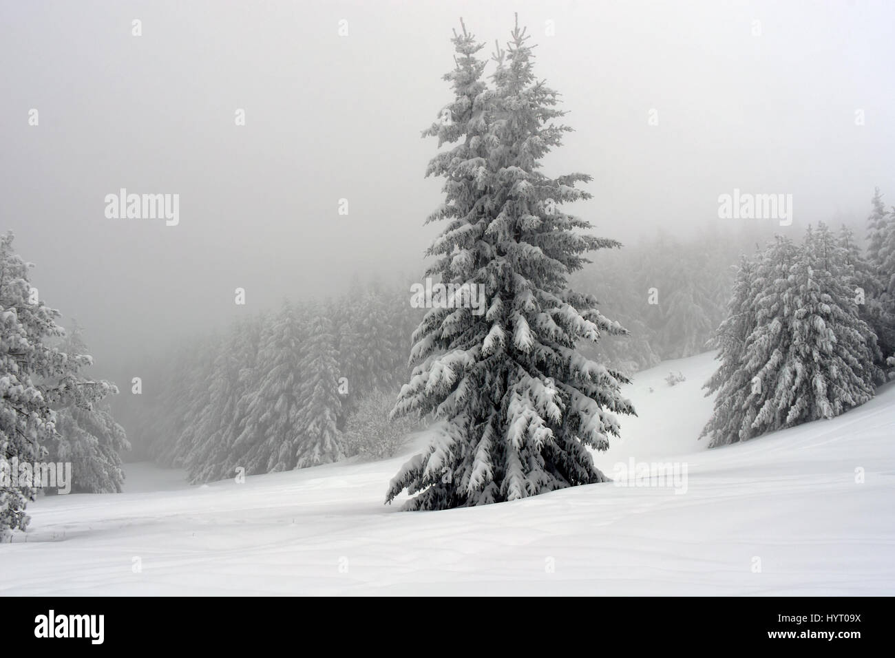 Cold winter day in the mountain. Fir trees covered with thick snow. The forest on the background hidden in fog. - Stock Image