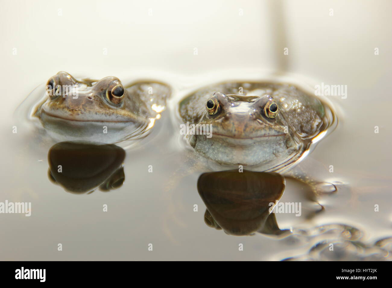 European common frogs (rana temporaria) chorusing in an urban garden pond during breeding (spawning) season,, England - Stock Image