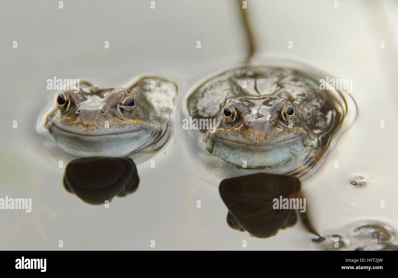 European common frogs (rana temporaria) chorusing in an urban garden pond during breeding (spawning) season,, England - Stock Image