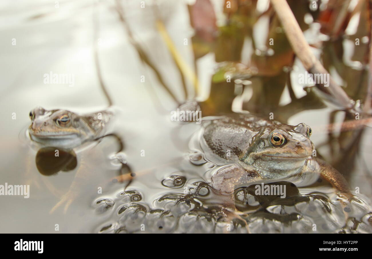 European common frogs (rana temporaria) spawning in an urban garden pond, Derbyshire, England - March - Stock Image