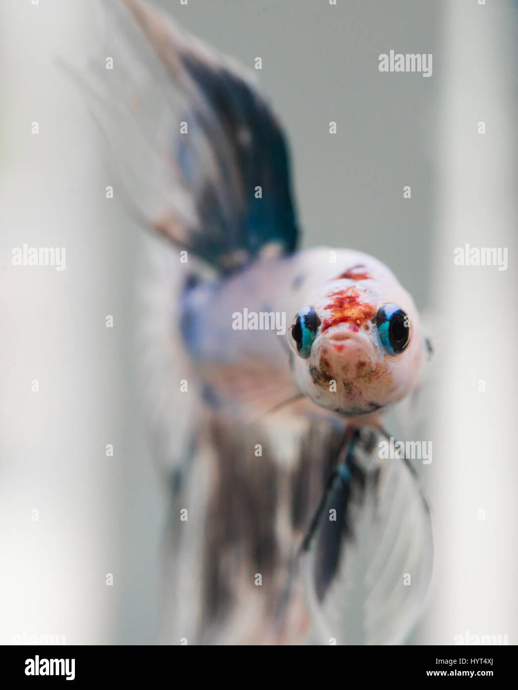 Betta Splendens male fish face Stock Photo