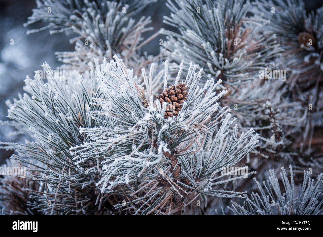 strobilus, strobili, plants, Pinophyta, conifers,  reproductive, woody, seeds, herbaceous, microstrobilus, megastrobilus, - Stock Image