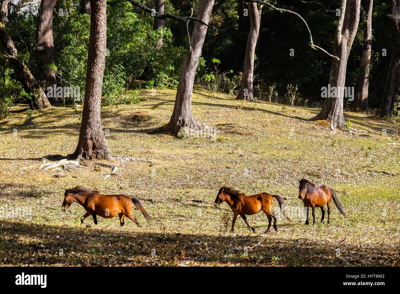 Timor ponies running on tropical grassland. - Stock Image
