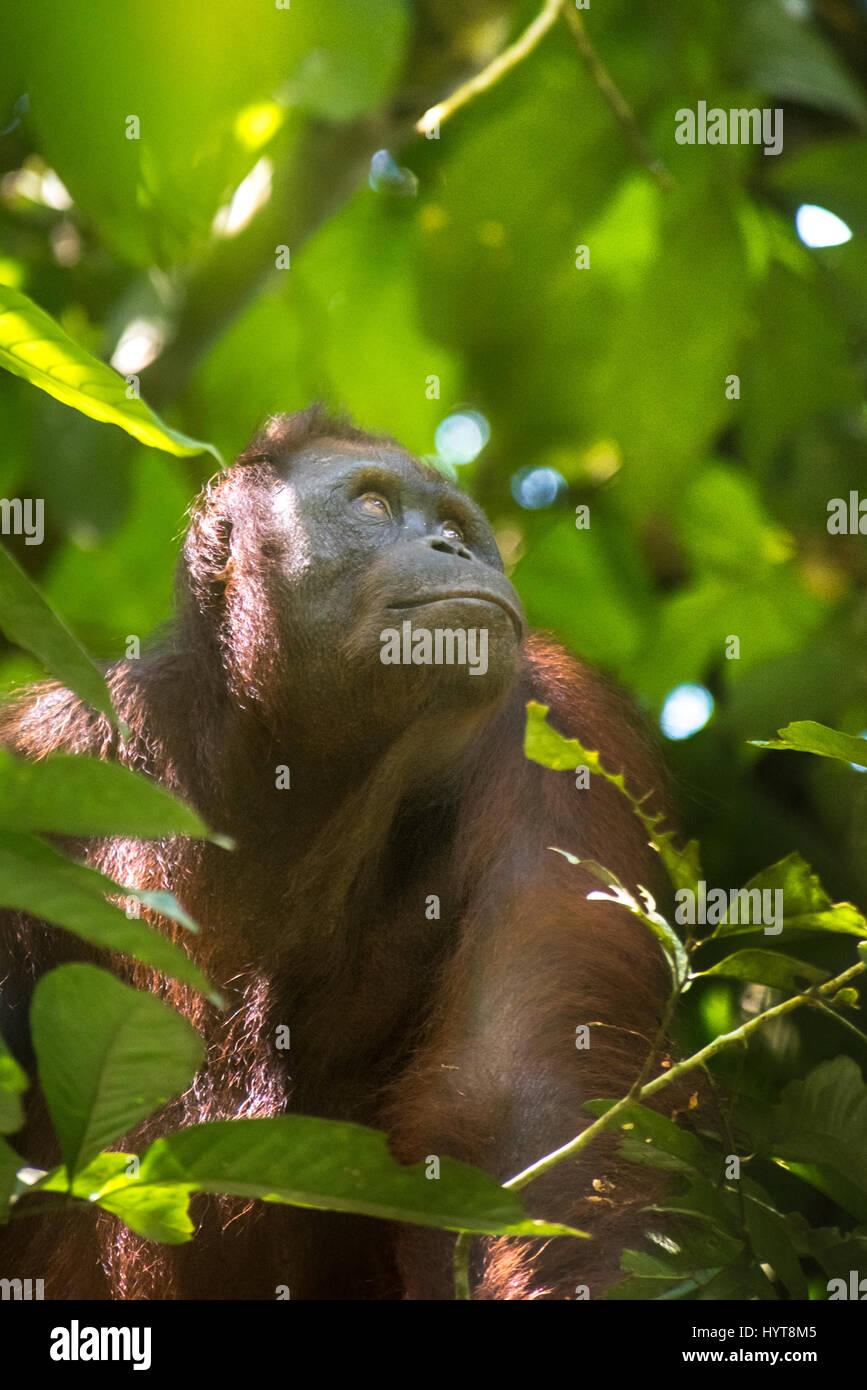 Portrait of Bornean orangutan in Kutai National Park, Indonesia. - Stock Image