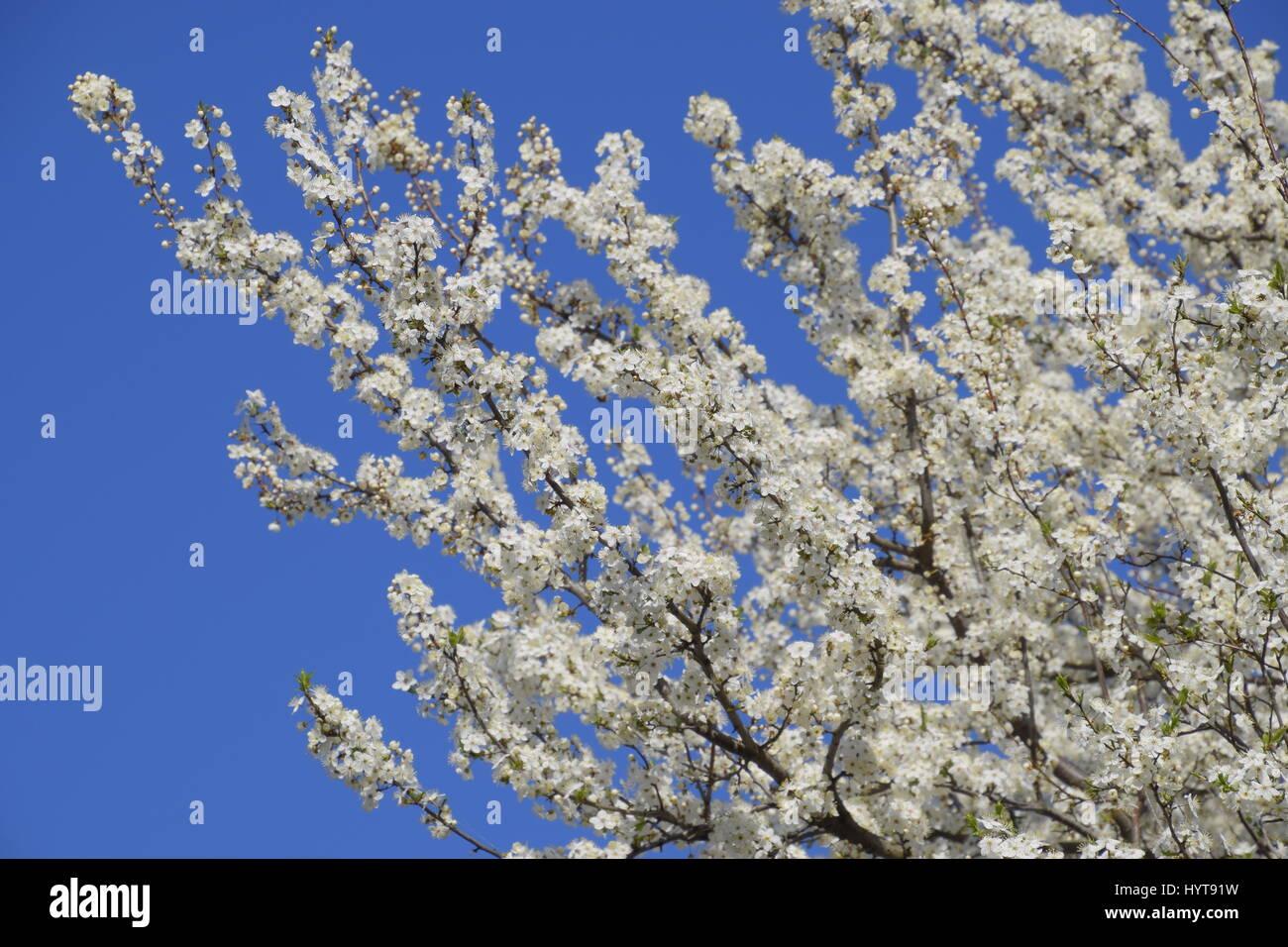 Blooming wild plum in the garden spring flowering trees spring flowering trees pollination of flowers of plum izmirmasajfo