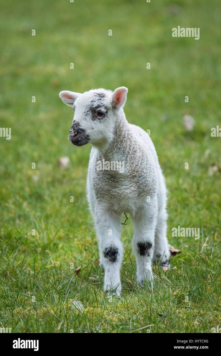 Front view of single, tiny lamb standing alone in a farm field, in springtime. With its ears pricked, it is both - Stock Image