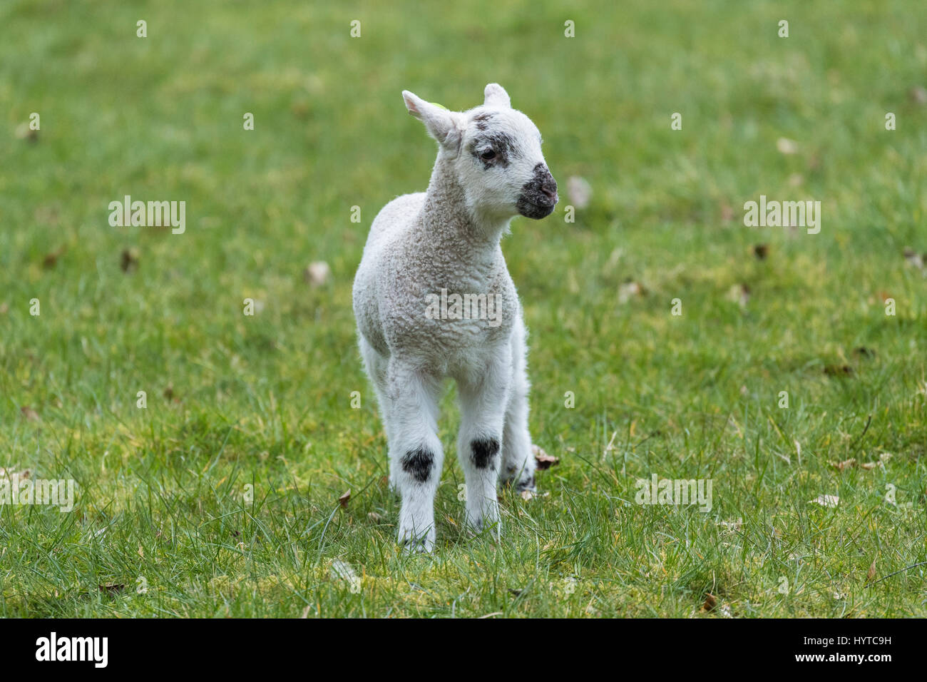 Single, tiny, cute lamb standing alone in a farm field, in springtime. Its ears are back and it appears vulnerable - Stock Image