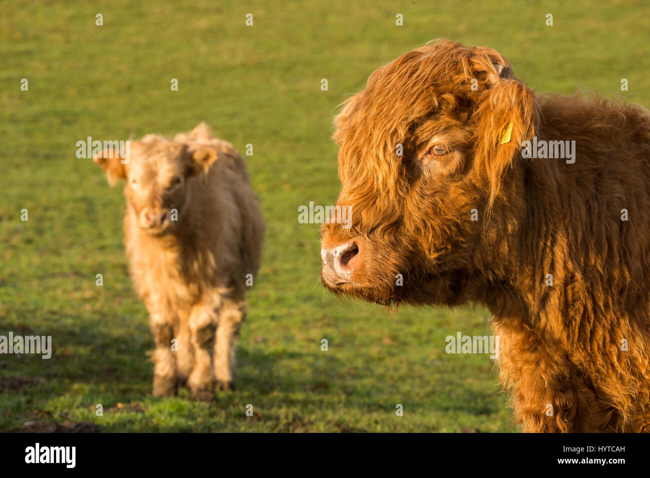 2 cute & hairy calves. Red Highland cattle calf (head & shoulders) in a field. White youngster, stands facing - Stock Image