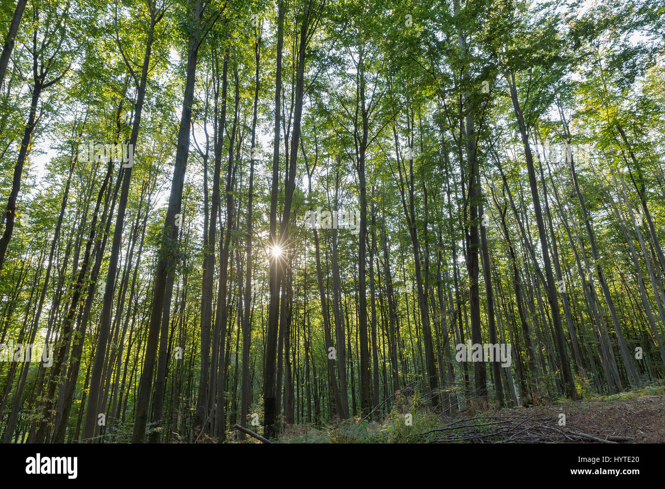 The sun shines through the crown of the forest. Carpathian mountains deep dense forest landscape - Stock Image