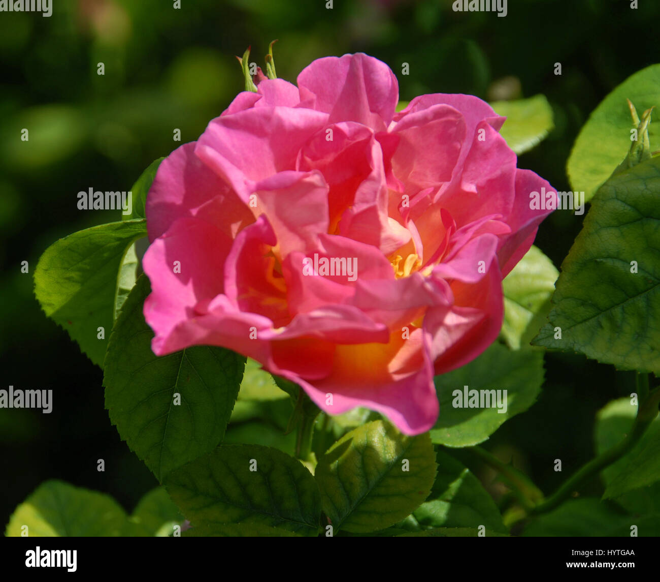 Rosa 'The Herbalist'Strong and reliable David Austin Rose, flat with semi-double, free-flowering blooms - Stock Image