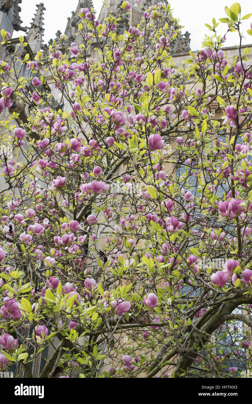 Magnolia Tree In Front Of The Oxford University Church Of St Mary