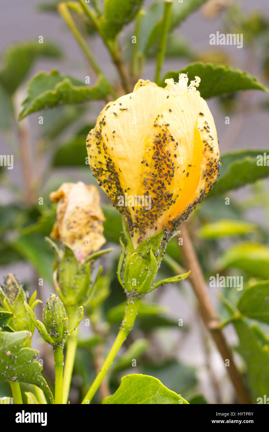 Mealybug on hibiscus flower. Plant aphid insect infestation. Thick - Stock Image