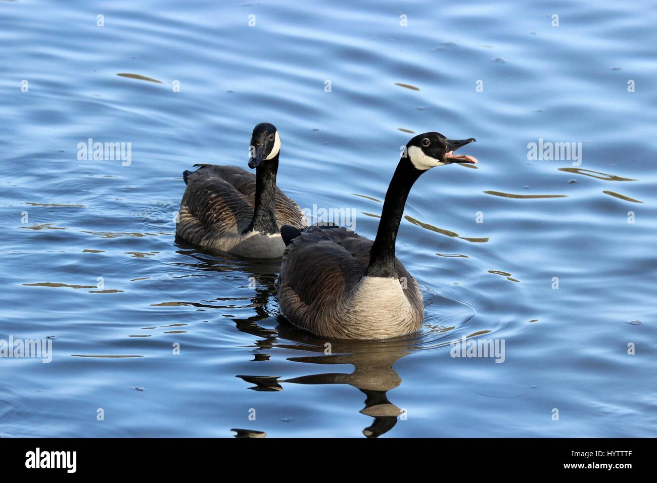Two Canada Geese Branta canadensis honking at other birds to defend their territory on a lake - Stock Image