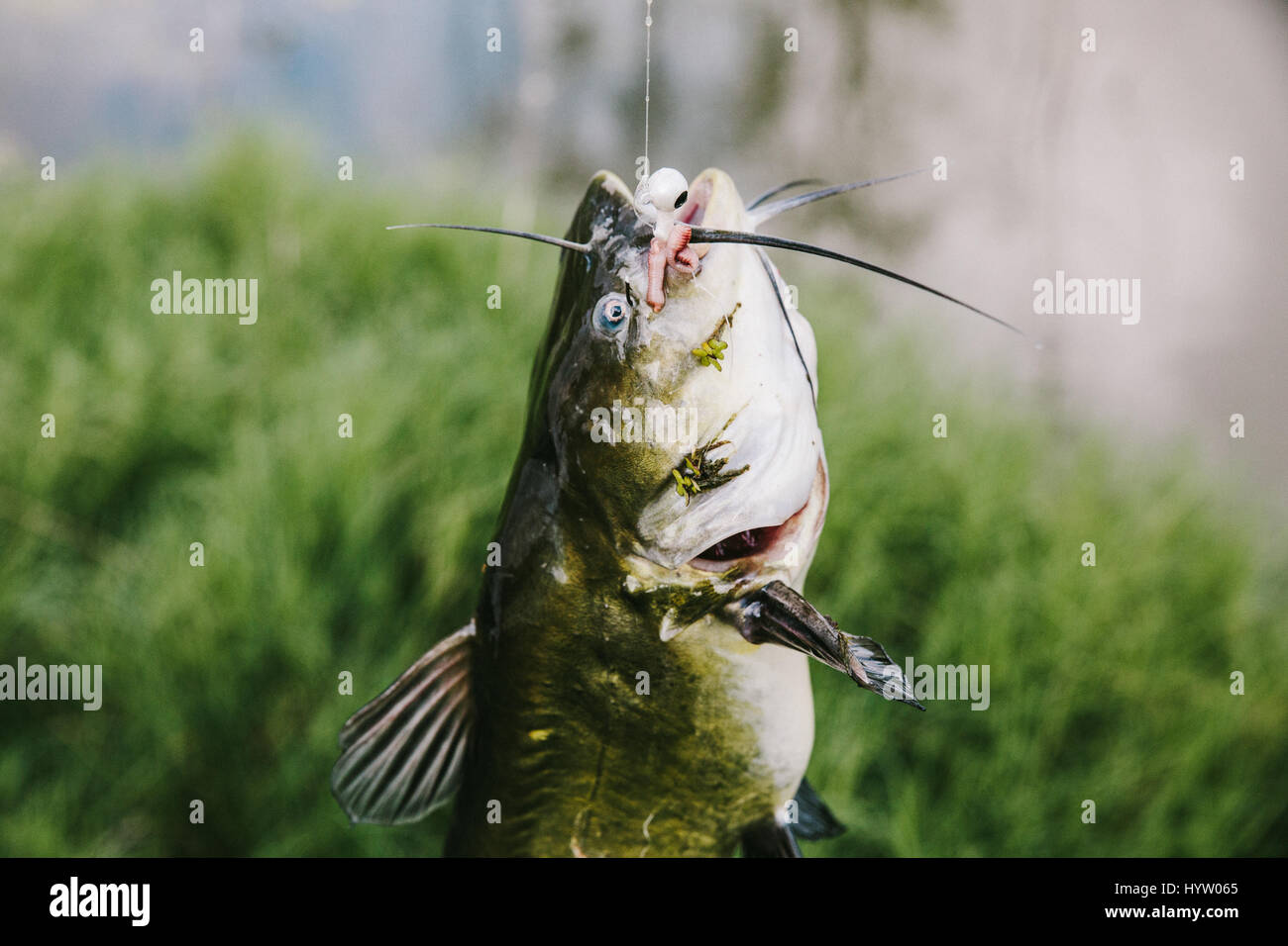Caught Catfish on a Fishing Line in Texas, USA - Stock Image