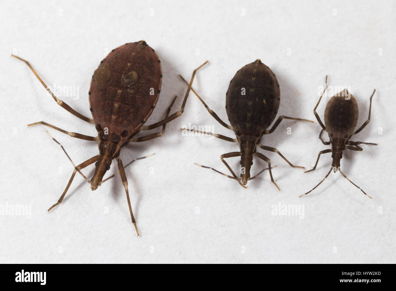 size comparison of 2nd, 3rd & 4th instar nymphs of Rhodnius prolixus (kissing bugs) - the insect that transmits - Stock Image
