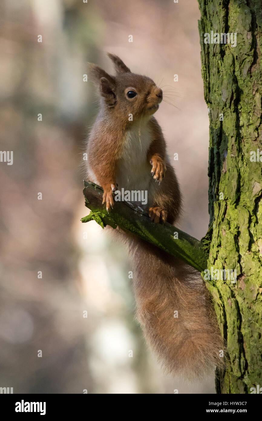 Red Squirrel (Sciurus vulgaris) - Stock Image